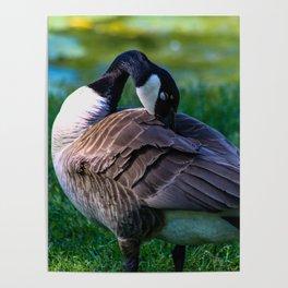 Resting Goose Poster