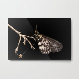 Acraea andromacha butterfly Metal Print