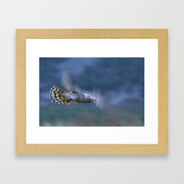 GOSHAWK IN FLIGHT Framed Art Print
