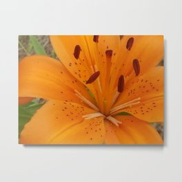Penny's lilly Metal Print