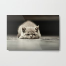 sleepy british kitten Metal Print