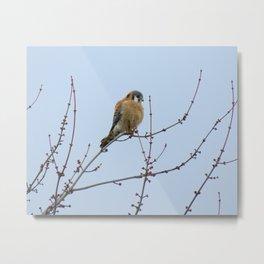 Sparrowhawk (Kestrel) 7 Metal Print