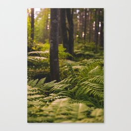 Sunny forest, pine fern forest with sunlight print Canvas Print