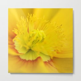 Iceland Poppy Close Perspective Metal Print