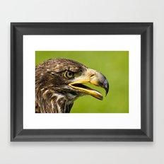 Bald Eagle - juvenile Framed Art Print