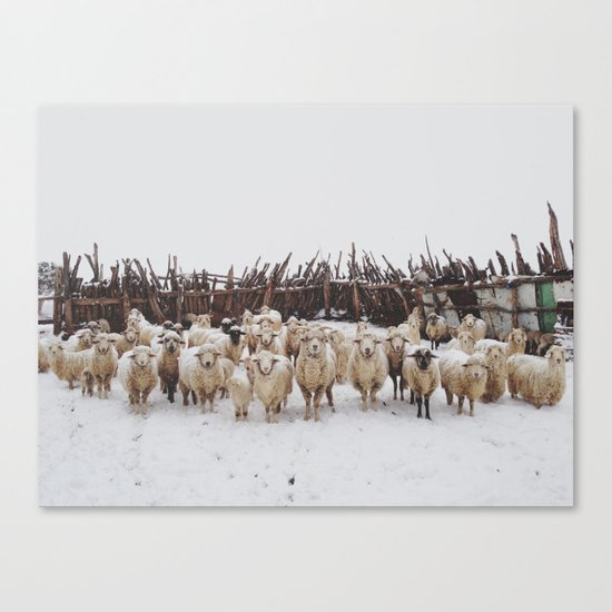 Snowy Sheep Stare Canvas Print