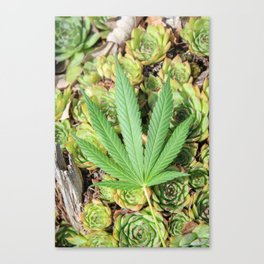 Sativa & Succulents Canvas Print