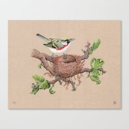 Chestnut Sided Warbler in Nest Canvas Print