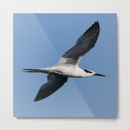 Sandwich Tern In Flight Vector Metal Print