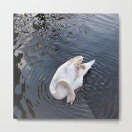 Coy Swan Metal Print