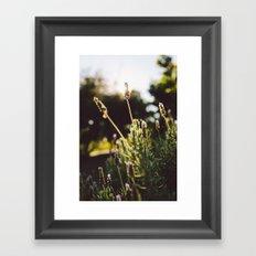 Lavender no. 2 Framed Art Print