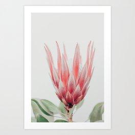 King Protea flower Art Print
