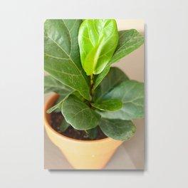 fiddle fig tree Metal Print