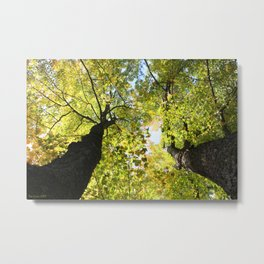 Tall Maple Trees in the Jackson County Forest Metal Print