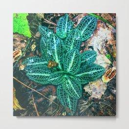 Rattlesnake Plantain Metal Print