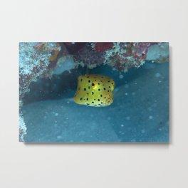 Puffing boxfish Metal Print