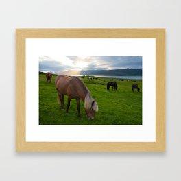 Icelandic horses in the sunset Framed Art Print