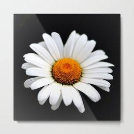 White daisy flower head on a black background Metal Print