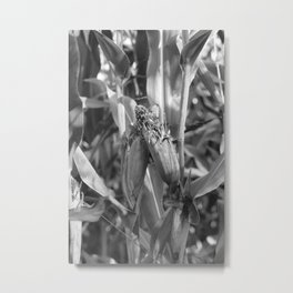 amorous corn, black and white photography Metal Print