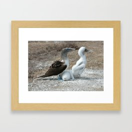 Blue Footed Boobie and Two Chicks Framed Art Print