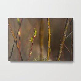Branches. || Latvian Nature. || Early Spring. || Sunlight. || Close up. Metal Print