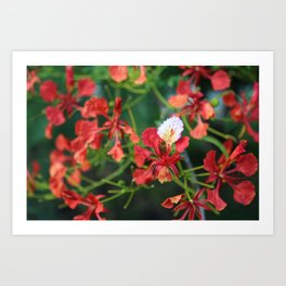 """Poinciana turns over a new leaf"" Art Print"