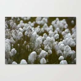 Close up of wild cotton in the field Canvas Print