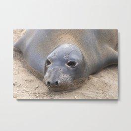 Northern Elephant Seal Metal Print