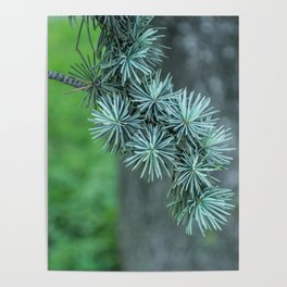 Conifer tree Poster