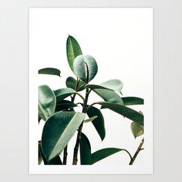 Ficus Art Print