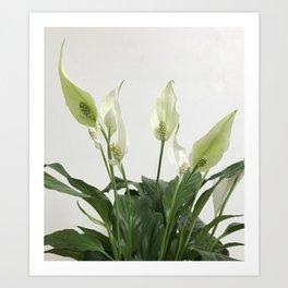 Spathiphyllum Art Print