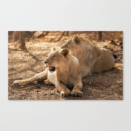 Asiatic Lion 7, Gir Forest, Gujrat, India Canvas Print