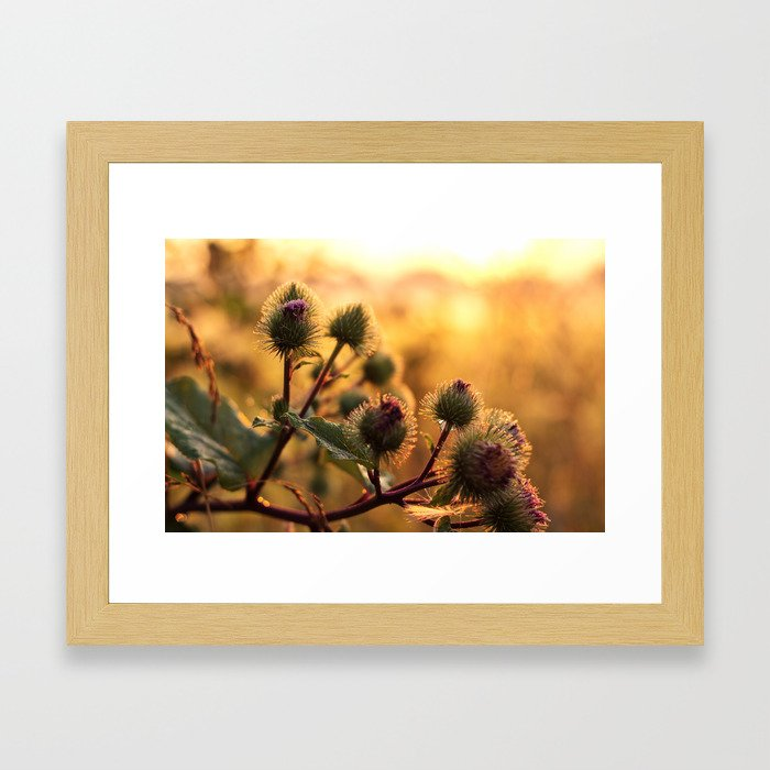 thistle with morning dew Framed Art Print