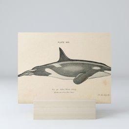 W Sidney Berridge - A Book of Whales (1900) - Figure 39: Killer Whale, or Orca Mini Art Print