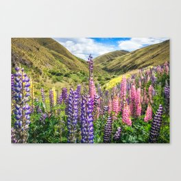 Colorful fields of lupines blooming in December in NZ Canvas Print