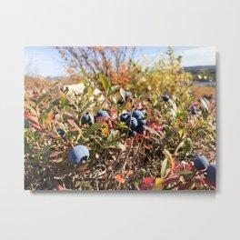 Home grown blueberrys Metal Print