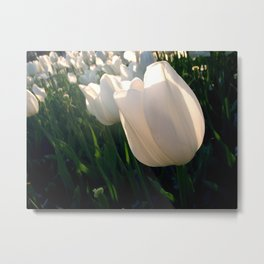 White Tulips, Day One Metal Print
