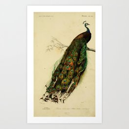 D'Orbigny - Universal Dictionary of Natural History; Birds (1849): 5bis Indian Peafowl Art Print