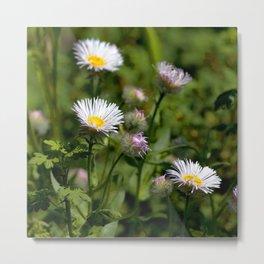 Watercolor Flower, Fleabane 03, RMNP, Colorado Metal Print