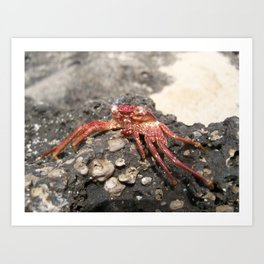 Looking Crabby Art Print