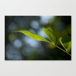 Grows Slippery Leaves Canvas Print