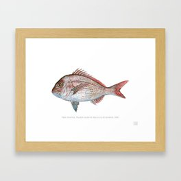 Pink Snapper Framed Art Print