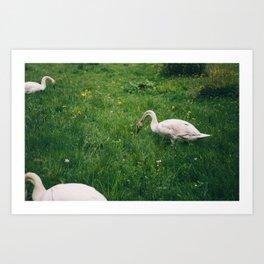 3 Swans Art Print