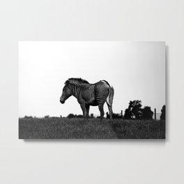 Zebra in its Colours Metal Print