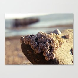 Hood Canal Barnacles Canvas Print