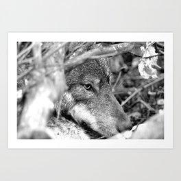 Hidden Wolf Art Print