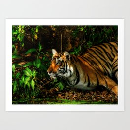 Bengal Beauty Art Print