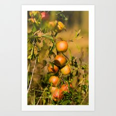 Fresh apples from the tree Art Print