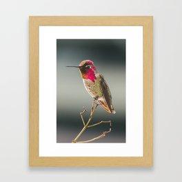 Perched Anna's Hummingbird Framed Art Print