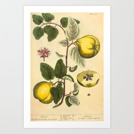 """Qiunce by Elizabeth Blackwell from """"A Curious Herbal,"""" 1737 (benefiting The Nature Conservancy) Art Print"""